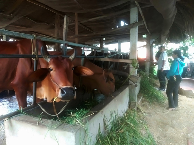 """Long An: Cách """"mượn giống nuôi bò thịt"""" dễ giàu có ra sao mà huyện này ra nghị quyết kêu gọi nông dân nuôi bò?"""