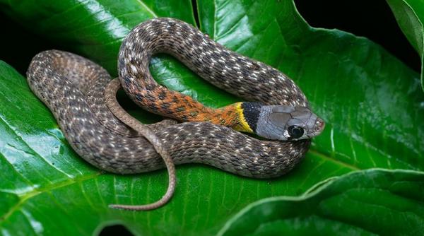 Cảnh báo nguy hiểm từ vụ bé 15 tháng qua đời vì rắn học trò