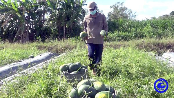"""Trồng dưa hấu trái chín đúng mùa dịch, nông dân Tiền Giang """"thở phào"""" vì hái bao nhiêu thương lái """"khuân"""" đi hết"""